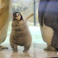 エンペラーペンギンのヒナ1