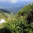 唐松岳の周辺の植物:ミヤマダイコンソウとハクサンイチゲの実