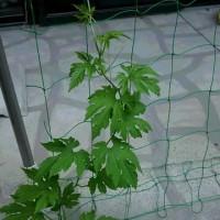 GWに植えたゴーヤの苗が成長中♪