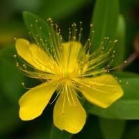 未央柳(びようやなぎ)の花