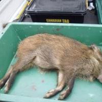 3月20日有害鳥獣捕獲「猪」