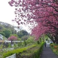 帷子川沿いの八重桜