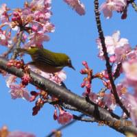 一足お先に「買わず桜」をでは無く「河津桜」を見に行った!