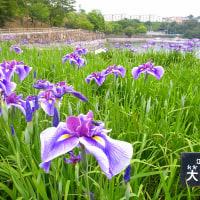 春日池公園「菖蒲」の季節