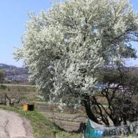 野所の春 4 (ヨシコ)