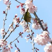 横浜の桜開花状況