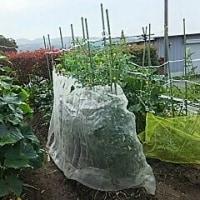 ぼちぼちと……朝の収穫
