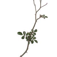 丁字咲きテリハノイバラ