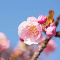 河津桜が咲きだしました
