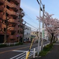 桜は満開近い・・・・