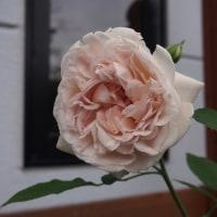 大好きなバラが開花しました・・・♪(^-^*