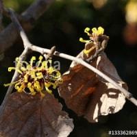 採用作品「マンサクの花」 うれしいのココロ