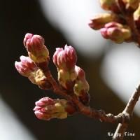 3月24日の市内の桜開花状況で~す