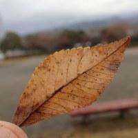 江尾公園の自然:アキニレの落葉