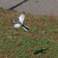 フリー素材 : 野鳥 ・ 翡翠  於大公園のセキレイ