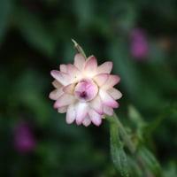 ピンク色のヘリクリスム・クルティバース