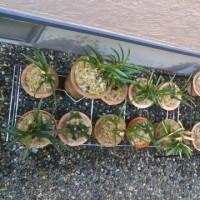 植え替え完了、根の季節