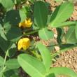 姿かたちがパイナップルに似た花、パイナップルリリーです