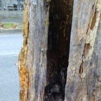 街路樹の無情