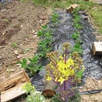 夏野菜の準備