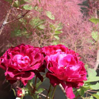 フラリエのバラ P4