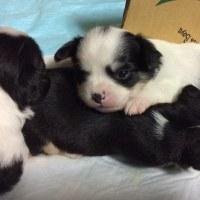 チワワの赤ちゃんと成犬の飼い主さんを募集します!(有料です)