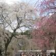 今年の桜満喫しています!