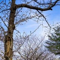 【今日の湯沢】雪国湯沢に春の気配 ~湯沢中央公園 桜の蕾~