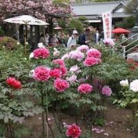 龍華寺に咲く満開の牡丹を撮る!!
