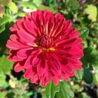 菊 Chrysanthemum