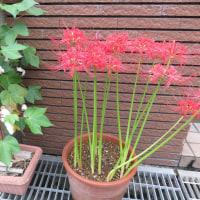 江戸時代の赤米