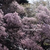 そろそろ桜の季節です
