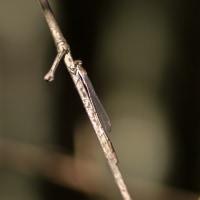 ホソミイトトンボ(越冬)
