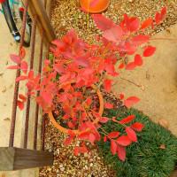 昭島の銀杏並木と紅葉2016