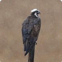 今日の野鳥、ミサゴ ・・・ 。