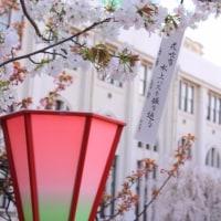 大阪造幣局桜の通り抜け2017画像 その8