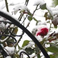 11月の雪~庭のバラを飾る~