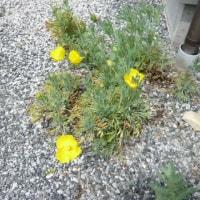 ハンネマニアの一番花が咲いたよ