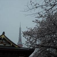 「桜」/増上寺
