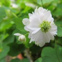 エーデルワイスが咲きそうです。