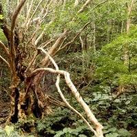 風格を感じる巨木  シマサルスベリ