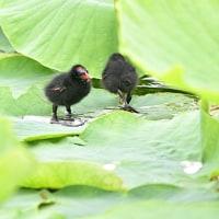「田の番をする鳥」と名乗っているバンらしいけど、沼にいた