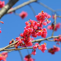 河津桜咲きました、東京府中郷土の森