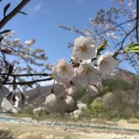 桜そば、、、桜