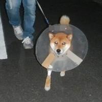 一時預かりさんにお世話になってます、幸ちゃん去勢手術しました。