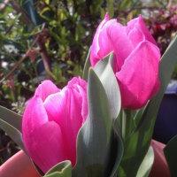 桜色のお花たち ~チューリップ、ボロニア、宝塚小町、かいどう桜~