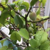 梅の実が成りました