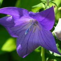 庭のお花達 紫陽花・ダンスパーティー他