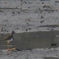 レンコン田の鳥 (17-0123)