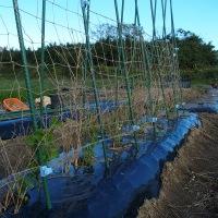 スナップエンドウの畝に支柱を立てて、ネットを張る。